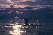 Fluke of humpback whale (Megaptera novaeangliae) Alaska, USA