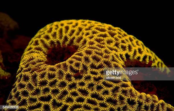Fluoresce hard coral Coral fluorescenc Indonesia Indian Ocean Komodo National Park