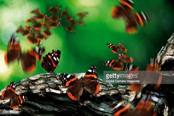 A flurry of Red Admiral butterflies around a tree branch taken on June 9 2011