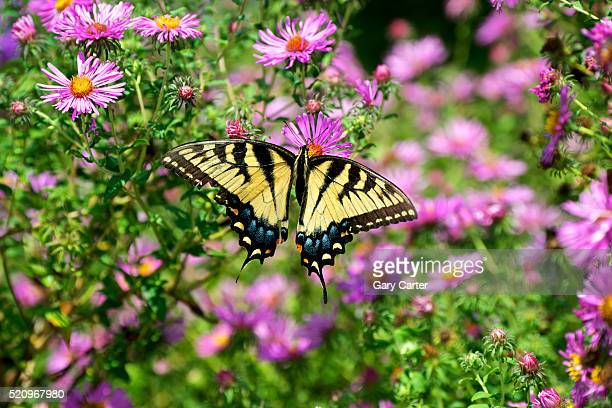 Fluted Swallowtail butterfly on flower