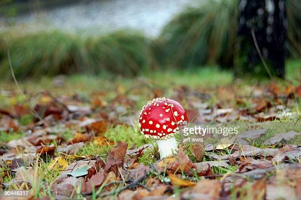Fly agaric fungi.
