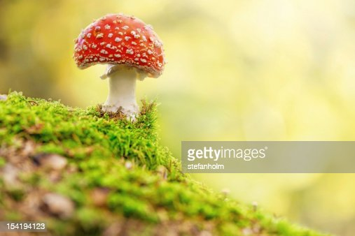 Fly Agaric in forest : Stock Photo