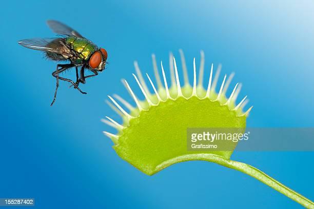 Fly, gefangen von Venusfliegenfalle plant