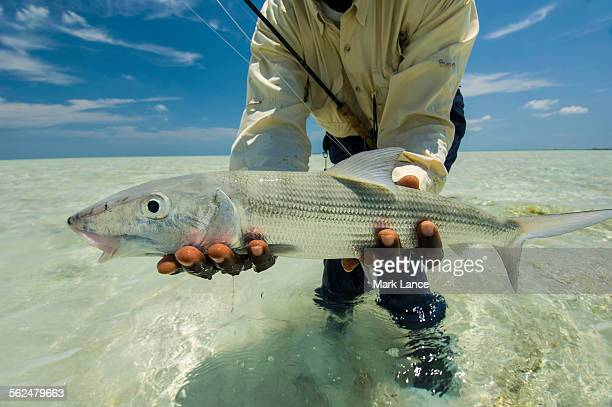 Bonefish stock photos and pictures getty images for Fly fishing bahamas