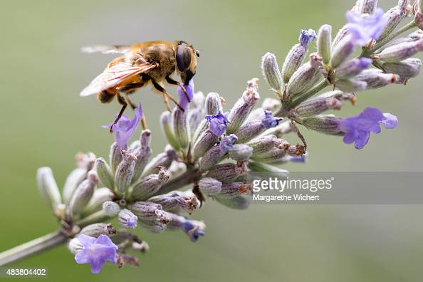 A fly gathers nectar from lavender flowers on August 1 2015 in Obing Germany