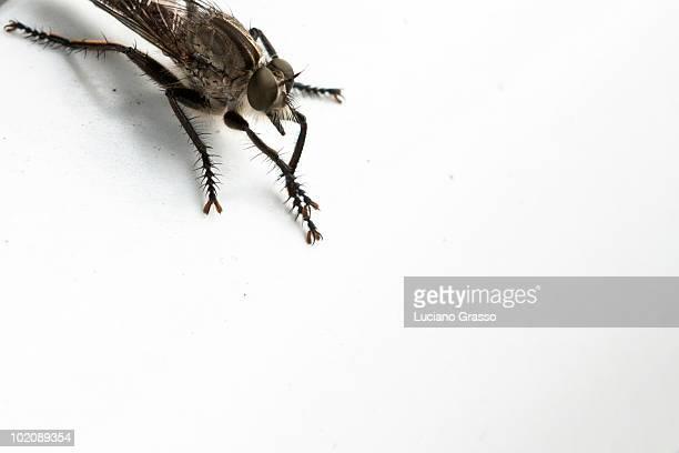 Fly hairy