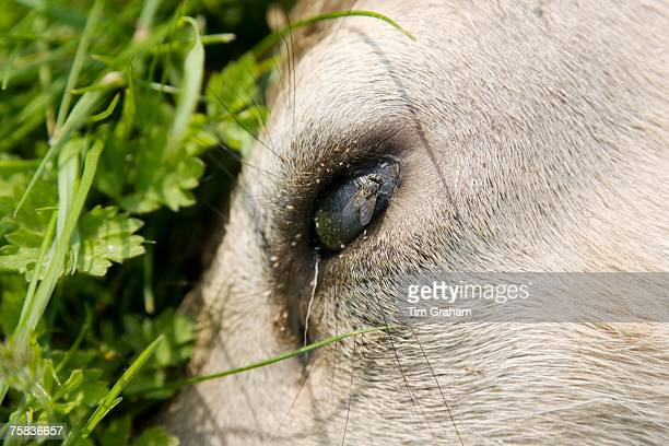 Fly on dead deer's eye as the corpse lies by the roadside Charlbury Oxfordshire United Kingdom