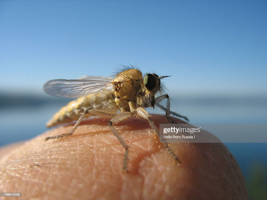 Fly on my finger : Stock Photo