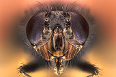 Extreme larger head housefly, front view of big eyes