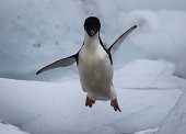 Flying Adelie Penguin