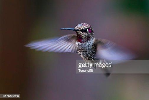 Flying Anna's Hummingbird
