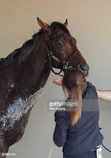 Flying Artie gets hosed down after winning Coolmore Stud Stakes at Flemington Racecourse on October 29 2016 in Flemington Australia