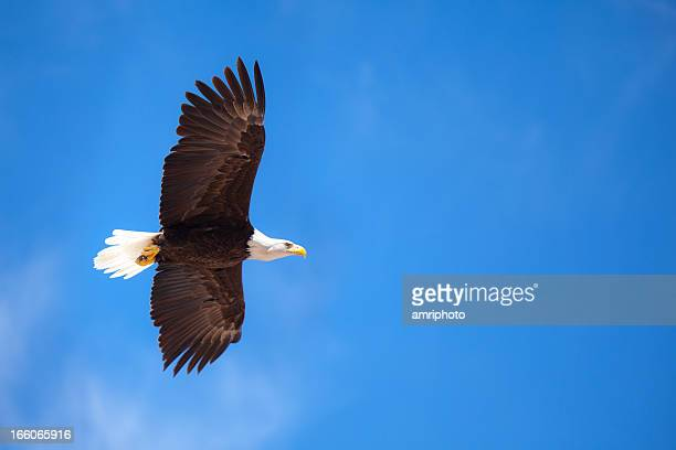 flying bald eagle at blue sky