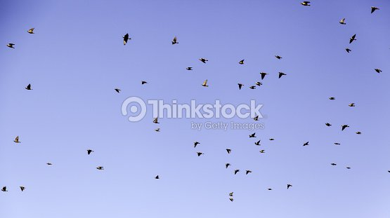 Flying birds migrating in the sky, animals and nature