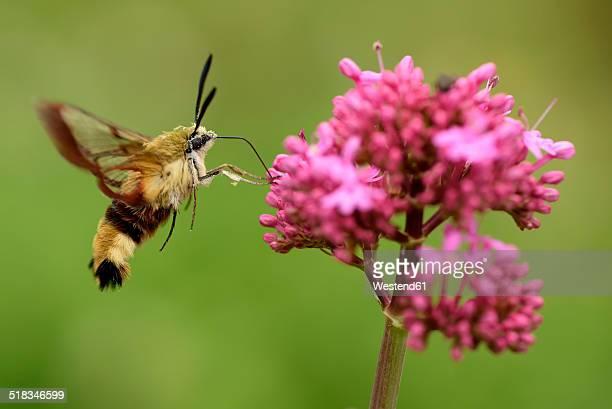 Flying broad-bordered bee hawk-moth, Hemaris fuciformis