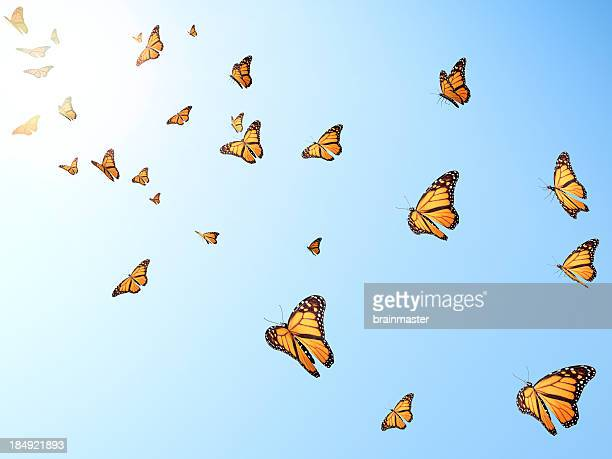 Volare butterflys