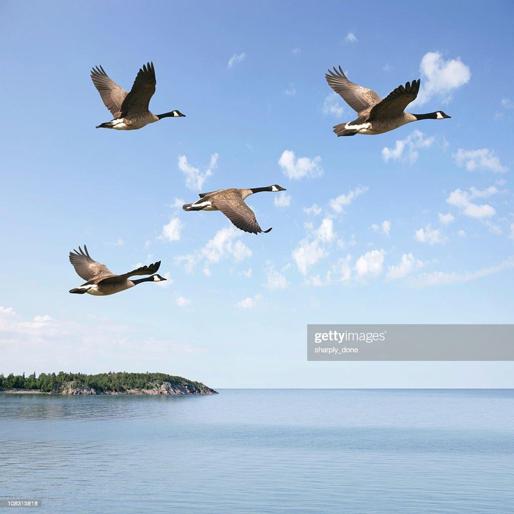 XXXL flying canada geese