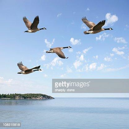 XXXL flying canada geese : Stock Photo