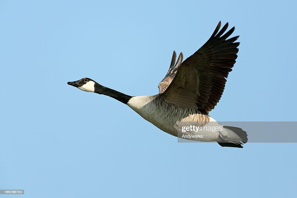 Flying Canada Goose (Branta canadensis)