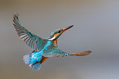 Flying female common kingfisher (Alcedo atthis)