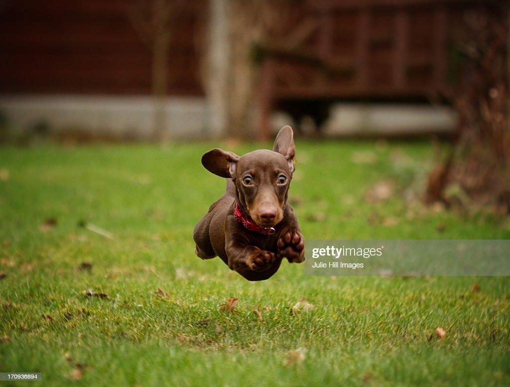 Flying Dachshund Puppy : Stock Photo