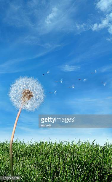 Flying Dandelion Seeds in the Wind