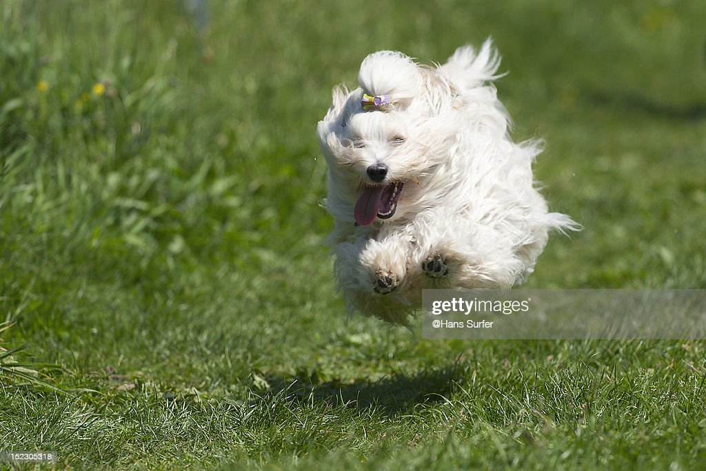 Flying dog (Havanese) above grass : Stock Photo