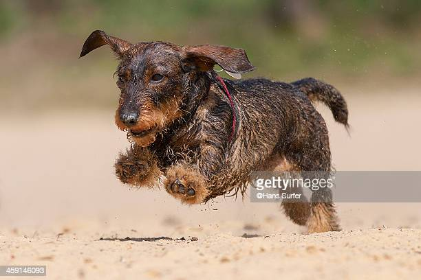 Flying Ears of a Dachshund!