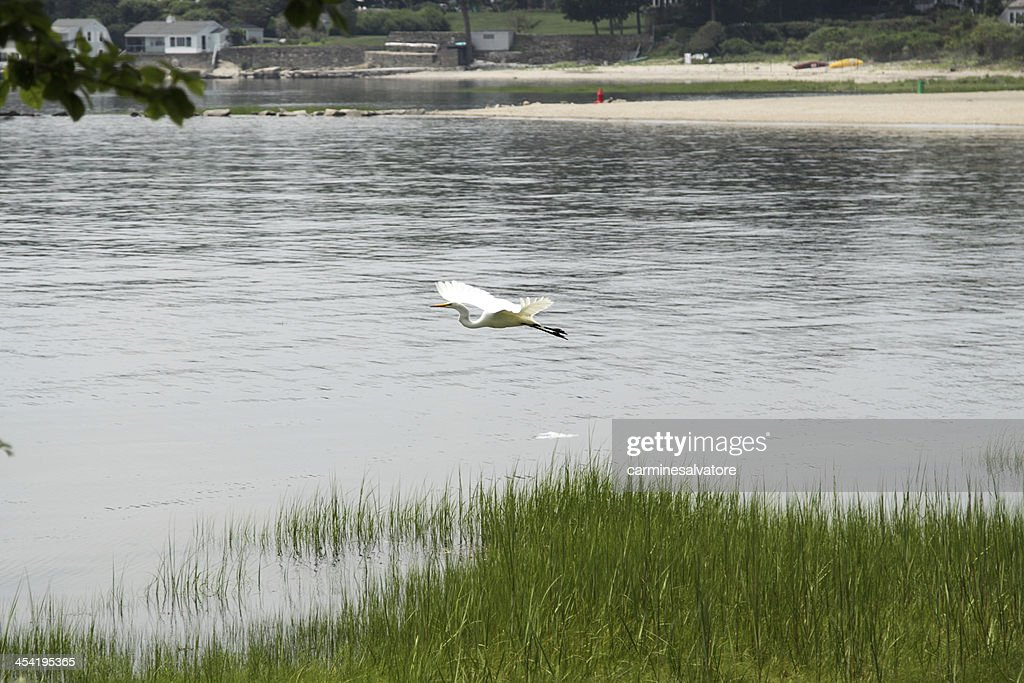 flying egret : Stock Photo