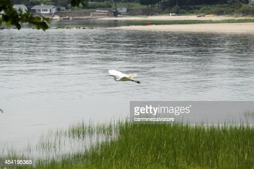 Garça-branca-voadora : Foto de stock