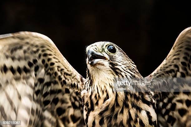 Flying falcon portrait