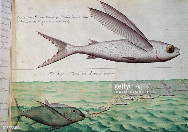 Flying fish and tuna chasing flying fish Tropic of Cancer watercolour from the log book by Jacques Gouin de Beauchesne captain of the Compagnie...