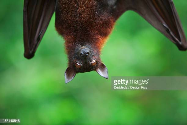 A Flying Fox Bat Hangs Upside Down From A Tree Branch At The Singapore Zoo