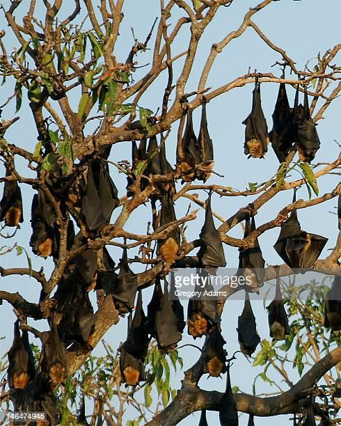 Flying fox bat maternity colony
