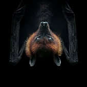 flying fox isolated on black face closeup