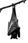 Bat, Hanging Lyle's flying fox isolated on white background present in black and white, Pteropus lylei