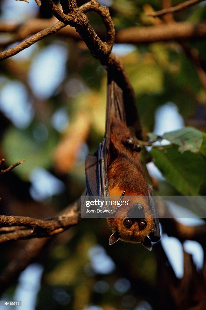 Flying fox (Pteropus sp.) : Stock Photo