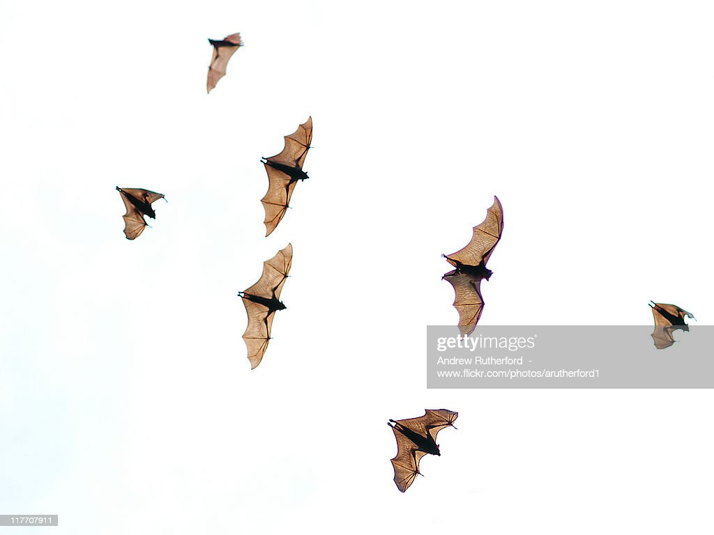 Flying foxes : Stock Photo