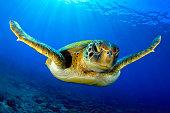Una tortuga verde en el azul