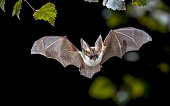 Flying bat hunting in forest. The grey long-eared bat (Plecotus austriacus) is a fairly large European bat. It has distinctive ears, long and with a distinctive fold. It hunts above woodland, often by