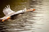 flying grey-lag goose  over a pond