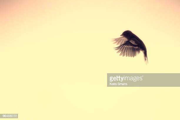 Flying hedge sparrow