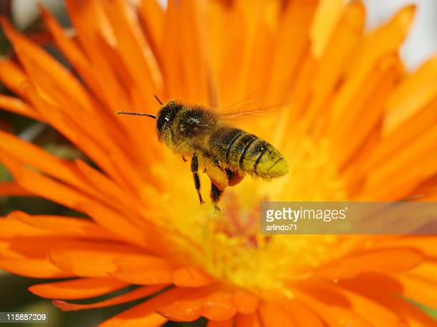 Flying honeybee 2