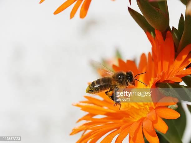 Flying honeybee 4