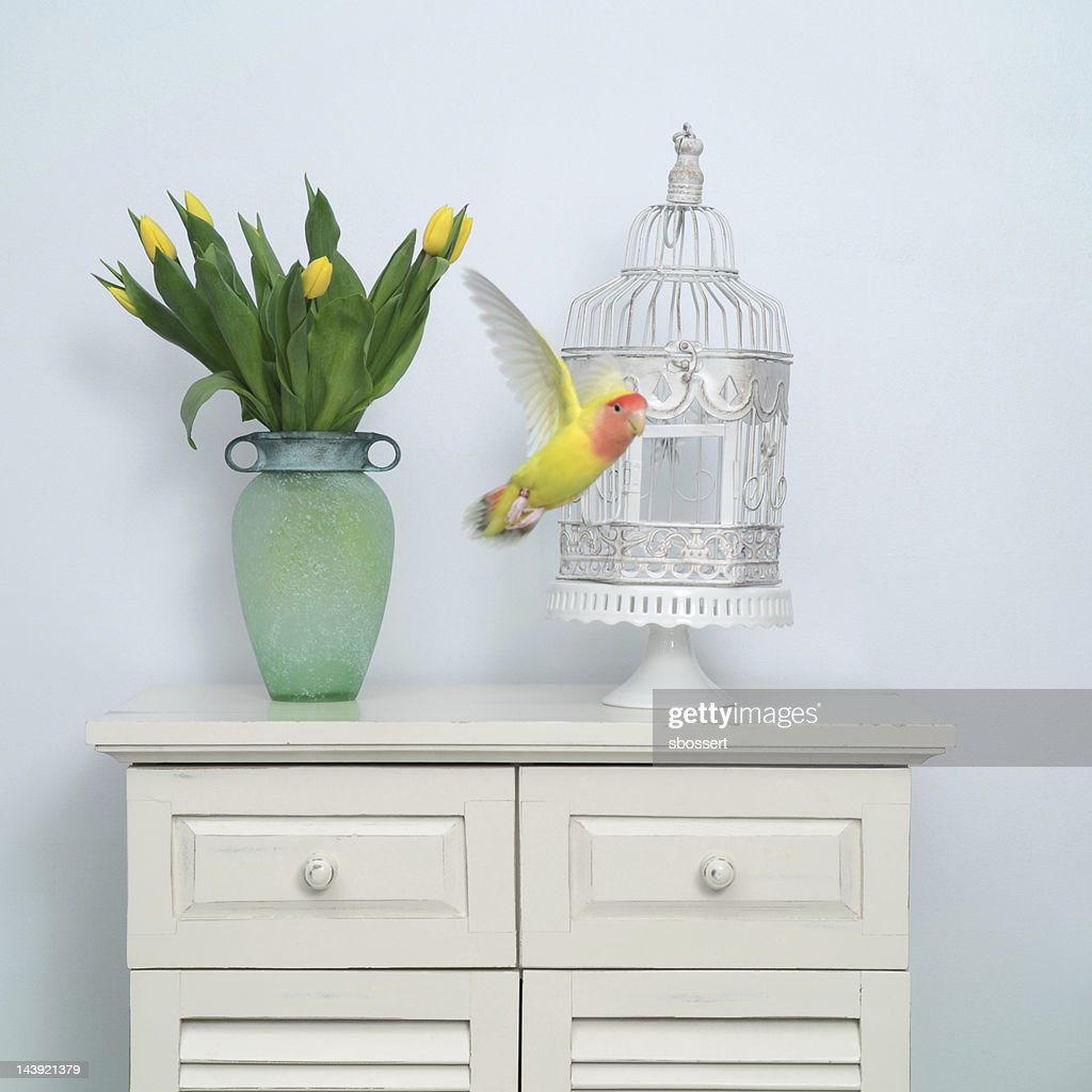 Flying Lovebird : Stock Photo