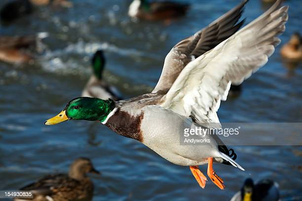 Flying Mallard Drake (Anas platyrhynchos) XXXL