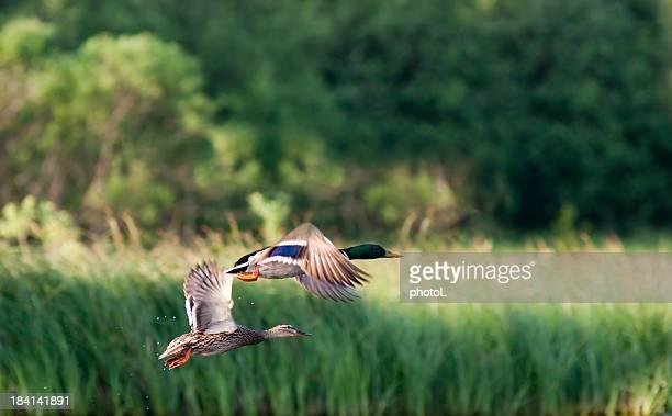 Flying Die Stockenten
