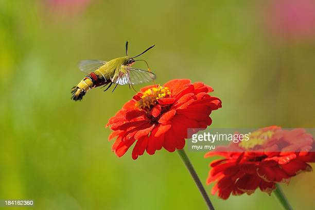 Flying Moth and Zinnia