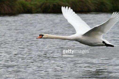 Flying mute swan Cygnus olor