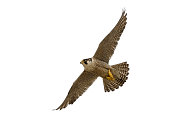Flying Peregrine Falcon (Falco peregrinus) against a white background.